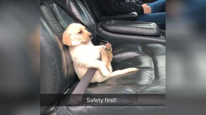 puppy wearing a seatbelt